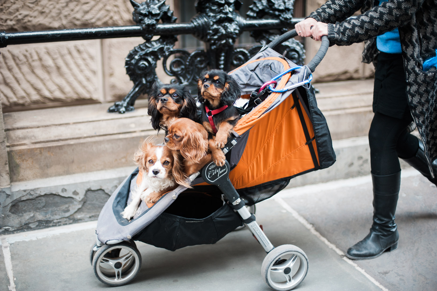 Small puppies are taken for a ride in a Pram on the upper west side of New York City