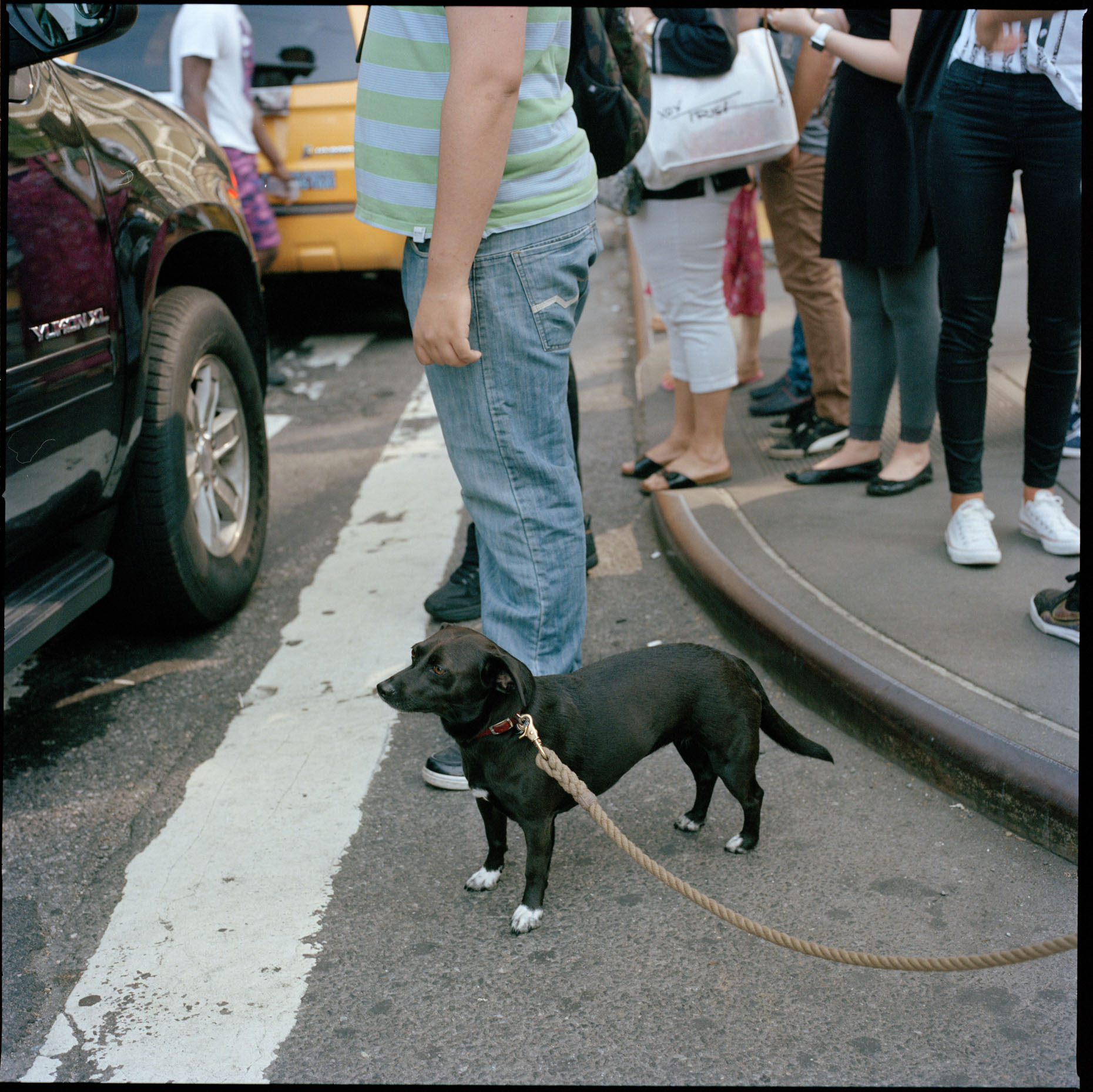 A dog waits patiently at a crosswalk in Midtown Manhattan.