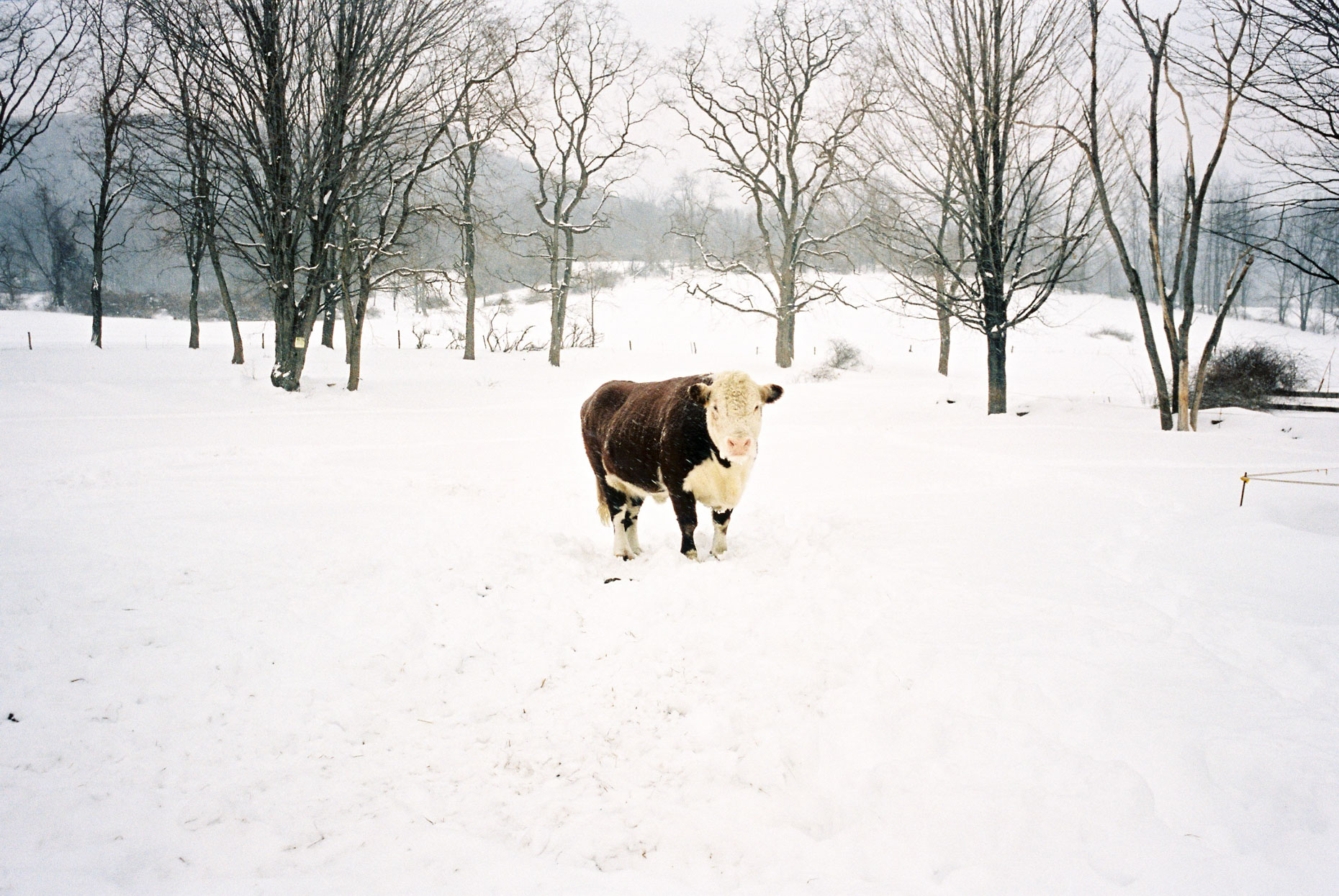 A cow in a snowy fileld, upsatate New York.